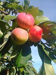 Äidin omenoita