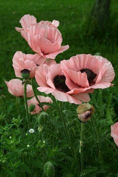 "Salmon Poppy with ruffled petals ~ a ""must have"" in a cottage garden"