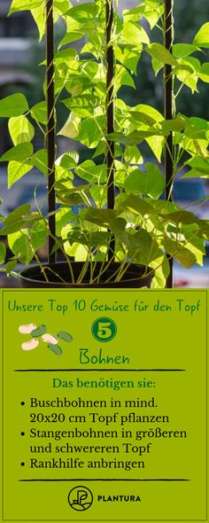 Our top 10 vegetables for the pot: beans! The selection of varieties is at the B… - Diydekorationhomes.club - Our top 10 vegetables for the pot: beans! The selection of varieties is on … - Garden Types, Garden Care, Planting Vegetables, Growing Vegetables, Vegetable Gardening, Greenhouse Gardening, Container Gardening, Herb Garden, Garden Pots