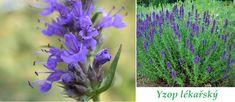 yzop-ucinky-na-zdravi-co-leci-pouziti-uzivani-vyuziti Herbalism, Herbs, Flora, Homemade, Plants, Herbal Medicine, Herb, Home Made, Diy Crafts