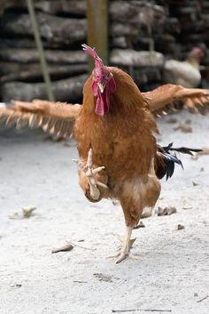 """[The Chicken Dance!]* * """" DE BIRD BE DE WORD ! """""""