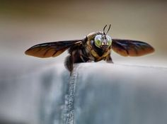 Cool Bee :)  Photo by Jensen Chua — National Geographic Your Shot