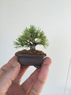 Tiny Pine...awesome!                                                                                                                                                                                 More