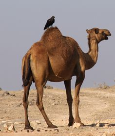 Camels   And more camels.
