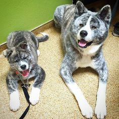 Happy dogs at the vet Father & Son. Nikko's #11weeksold today and weighs 25lbs. Papa Kenzo is 8 yrs old at 70lbs #keikosfirstlitter #keikoandkenzo #akitaclub #japanesedogs #puppy_tales #dogsofinstagram #akitasofinstagram #akitainu #pt_favourite #dogs_of_world #dogsofinstagram
