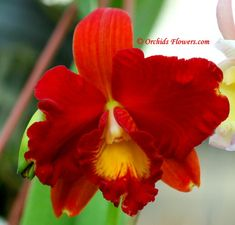 Cattleya Tainan City,The beautiful orchid hybrid has been named after Tainan, the oldest city in Taiwan, established by the Dutch East India Company in the century. Exotic Plants, Exotic Flowers, Tropical Flowers, Red Flowers, Beautiful Flowers, Red Orchids, Types Of Orchids, Types Of Flowers, Lady Slipper Orchid