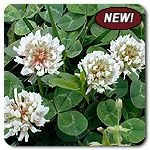 Organic Improved White Clover