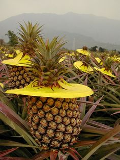 www.mytaiwantour.com pineapples #Taiwan fruit