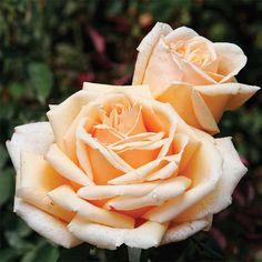 Valencia Hybrid Tea Rose, fragrant and hardy