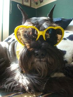 schnauzer dog with heart glasses Pelayo