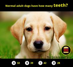 Normal adult dogs have how many teeth?