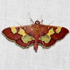 Distinguished Colymychus Moth - Colomychus talis