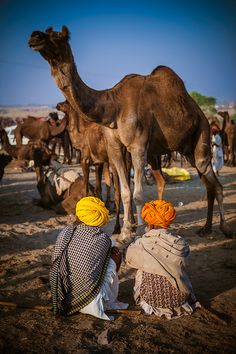 camels in Puskar, India Beautiful World, Beautiful Places, Photo Souvenir, Amazing India, Indian Colours, India Culture, Jaisalmer, Largest Countries, Rajasthan India