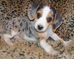 Queen Elizabeth Pocket Beagle Information and Pictures, Queen Elizabeth Pocket Beagles