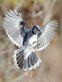 Blue Jay wing span by Steve Courson on Flickr*
