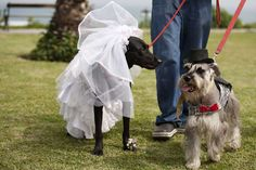 """Dogs may be """"man's best friend,"""" but for Amanda Rodgers, her Jack Russell was her one true love, so she married Sheba. Dog Wedding, Best Friends, Cute Animals, Pets, Women, Weddings, Clothing, Beat Friends, Pretty Animals"""