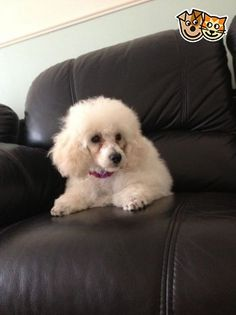 Toy poodle in london