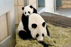 Fu Hu with Mom Yang Yang, 2011 Zoo Vienna