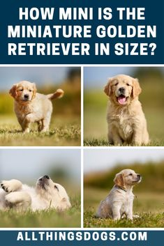 The clue to the Miniature Golden Retrievers size is in the name itself. They are selectively bred to keep all the good looks, yet to shrink them down to a more manageable size. Read on to learn more about their appearance. Mini Golden Retriever, Golden Retriever Breed, Golden Retrievers, Cute Dogs Breeds, Small Dog Breeds, Small Dogs, Miniature Dog Breeds, Cavachon, Easiest Dogs To Train
