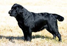 Fortune Labrador Retrievers - The Girls Animals And Pets, Cute Animals, Types Of Dogs, Labrador Retrievers, Black Labs, Labradors, Dogs Of The World, Mans Best Friend, Best Dogs
