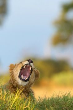 """ Lions Yawn 