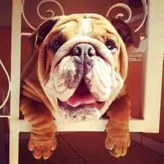 The major breeds of bulldogs are English bulldog, American bulldog, and French bulldog. The bulldog has a broad shoulder which matches with the head. Bulldog Puppies, Cute Puppies, Cute Dogs, Dogs And Puppies, Doggies, Baby Animals, Cute Animals, Olde English Bulldogge, Cute Bulldogs
