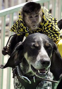 A black-capped capuchin monkey named Burt rides a dog named Scooby Blue during the Banana Derby races at the 2012 Stars and Stripes Festival in Mount Clemens, Mich.