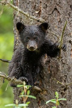 The same bear as last picture but now hanging in a tree and looking me straight in the eyes. I loved it. by Menno Schaefer Love Bear, Big Bear, Wildlife Photography, Animal Photography, Black Bear Cub, Bear Cubs, Grizzly Bears, Tiger Cubs, Tiger Tiger