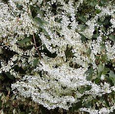 Fallopia Aubertii - opletka Aubertova (čínská) - rdesno Plants, Lawn And Garden, Plant, Planets