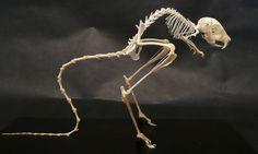 Jerboa skeleton
