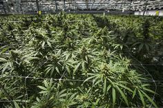 Cannabis May be Legal in Canada But You Still Cant Bring it in From the U. Medical Cannabis, Cannabis News, Cannabis Growing, Cannabis Plant, Pension Fund, Buy Weed, Ontario, Toronto