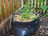 Potatoes in a trash bag! gardening