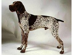 Braque français, type Pyrénées (petite taille) (134) (French Pointing Dog - Pyrenean type) - France