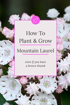 How To Grow Shade Loving Mountain Laurel | I love this shade loving shrub that is evergreen and has beautiful flowers. Find out all the details on how to grow Mountain Laurel (Kalmia latifolia) in your backyard garden. #fromhousetohome #gardeningtips #shadeplants #gardenideas #mountainlaurel #plants Partial Shade Perennials, Shade Flowers Perennial, Shade Loving Shrubs, Shade Shrubs, Full Sun Perennials, Flowers Perennials, Shade Plants, Big Flowers, Pretty Flowers