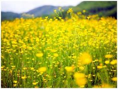 Field. 'Walking through the fields of gold'. My best dream ever. I was walking through a field of yellow flowers on a bright sunny day. This field was endless! I said to someone (don't know who) 'If this is heaven, I want to stay.'
