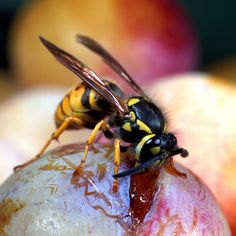 Natural ways to repel wasps with essential oils | eHow UK