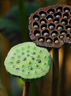 Lotus Seed Pods by Jerry Ting- Bonsai, Lotus Pods, Macro Flower, Lotus Flower, Organic Form, Cactus Y Suculentas, Seed Pods, Patterns In Nature, Natural Forms