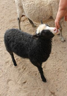 Särkänniemen Koiramäessä asustaa myös lampaita. Sheep @ Särkänniemi Doghill. #sarkanniemi #tampere, visit: http://www.sarkanniemi.fi