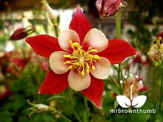 How to collect Columbine flower seeds.