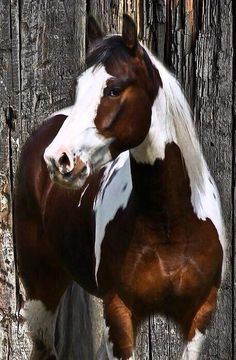 "western quarter paint horse paint pinto horse Gypsy Vanner Indian pony, ""maybe one of these days asrking with my camaro! Most Beautiful Animals, Beautiful Horses, Beautiful Creatures, Horse Photos, Horse Pictures, Animal Pictures, Cheval Pie, American Paint Horse, Majestic Horse"