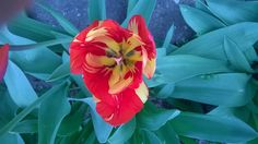 Tulip (inside) - null