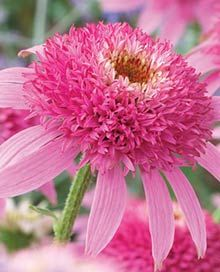 Pink Double Delight Coneflower. A sun loving, heat tolerant all summer long bloomer. It also spreads