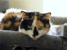 Picture of Calico cat, Callie - © Ronald Sherowsky