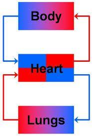 Circulatory system circulatory system human anatomy pinterest circulatory system circulatory system human anatomy pinterest circulatory system ccuart Image collections