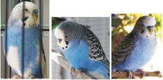 cobalt parakeet