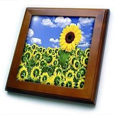 """1 Sunflower Rebels - 8x8 Framed Tile by 3dRose. $22.99. Keyhole in the back of frame allows for easy hanging.. Cherry Finish. Solid Wood Frame. Dimensions: 8"""" H x 8"""" W x 1/2"""" D. Inset high gloss 6"""" x 6"""" ceramic tile.. 1 Sunflower Rebels Framed Tile is measuring 8w x 8h x .75d. Made of solid wood with predrilled keyhole for easy wall mounting. Framed tile comes with 6w x 6h ceramic gloss tile attached to the wood frame."""