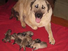 The Kangal mother, New Dawn, with her 8 new puppies.