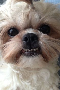 Shih tzu smile cute dog
