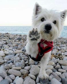 """3,218 Likes, 15 Comments - Westie Planet (@westie_planet) on Instagram: """"Want original Westie designs?➡️ TAP the link in my profile to find it! Photo by:…"""""""