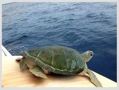 ¿Conoces el programa de liberación de tortugas marinas de Xcaret? #Tortugaton